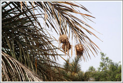 Hanging spherical nests of the bird Village Weaver.