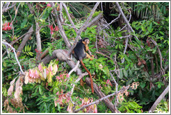 Red colobus monkey.