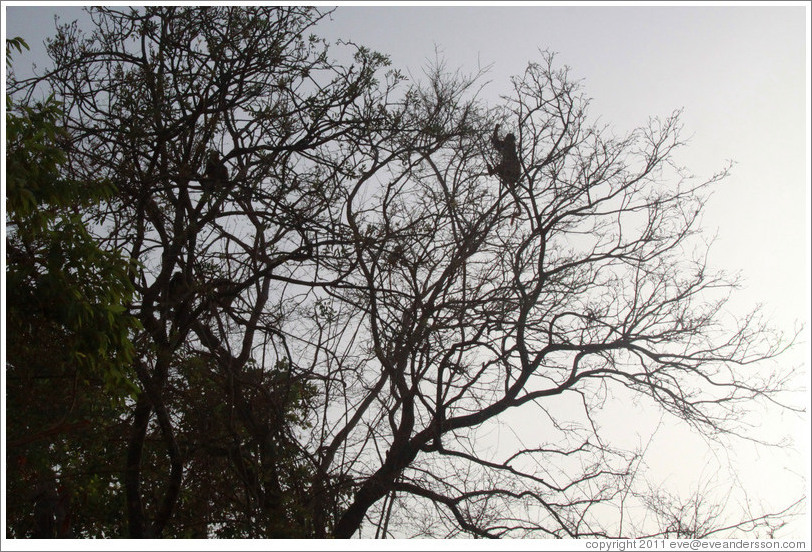 Silhouettes of red colobus monkeys in trees.