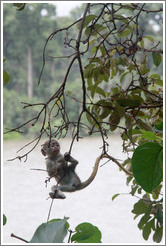 Baby vervet monkey playing on branches.