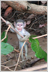Baby vervet monkey standing upright.
