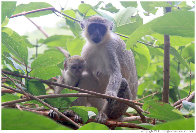 Mother and child vervet monkeys.