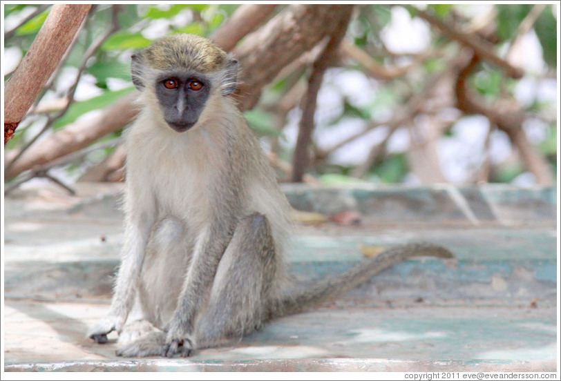 Vervet monkey on overturned boat.