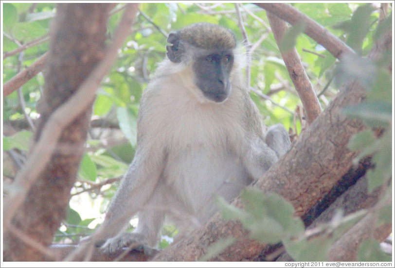 Vervet monkey with ear torn in a fight.