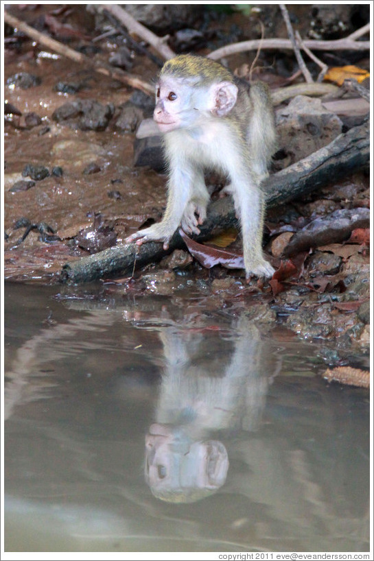 Young vervet monkey reflected in the River Gambia.