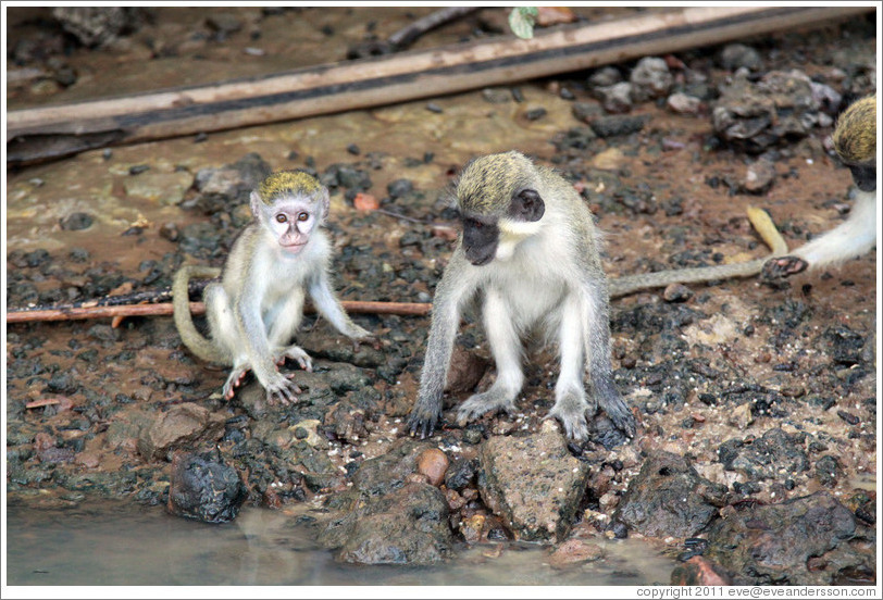 Vervet monkeys at the side of the River Gambia.