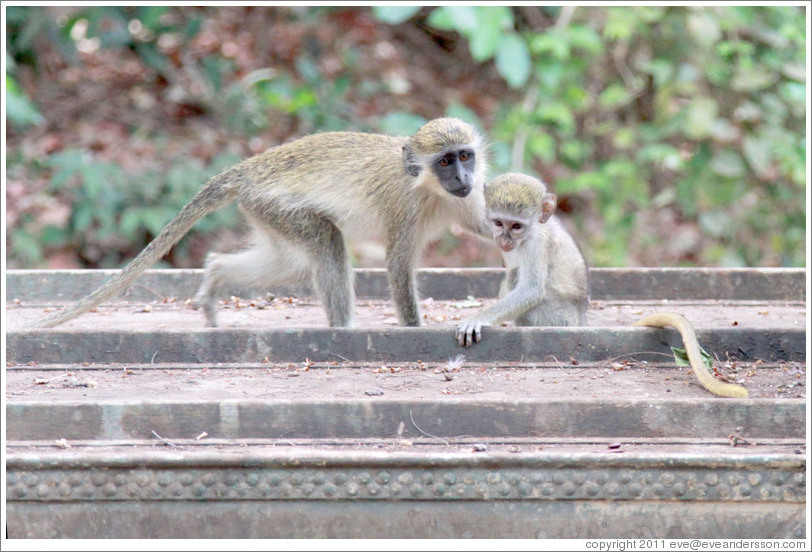 Mother and baby vervet monkeys.
