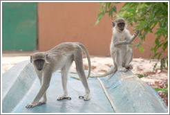 Vervet monkeys on an overturned boat.
