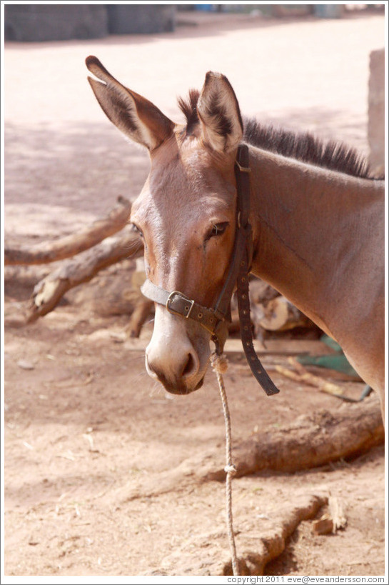 Donkey with a cut ear.  Gambia Horse & Donkey Trust.