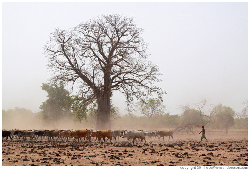 Baobab tree and a herd of cattle.