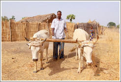 Villager with bulls who've been tied together for plough training.