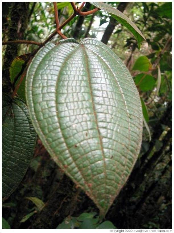 Leaf in the Biotopo del Quetzal.