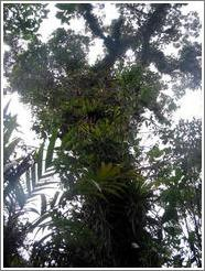 Tree covered with plants, Biotopo del Quetzal.