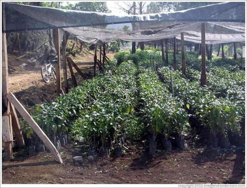 Filadelfia Coffee Estate.  Plant nursery.