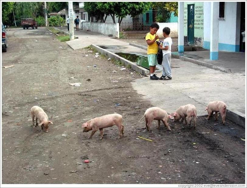 Pigs and kids on the main street.