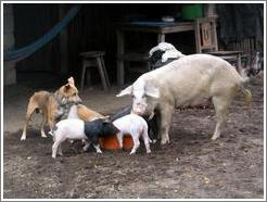Pigs and dog eating.