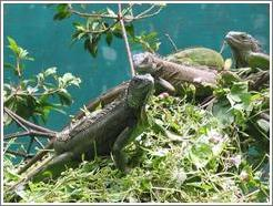 Animal sanctuary.  Iguanas.
