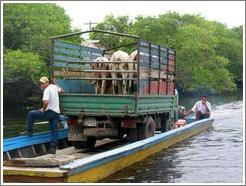 Cows in truck in the mangrove swamp.