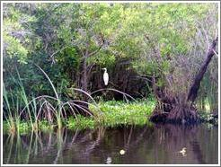 White bird in the mangrove swamp.
