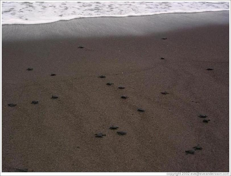 Baby turtles making their way to sea.