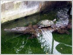 Turtle sitting on back of crocodile.