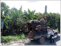 Boys loading truck in front of banana trees.