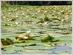 Lily pads.