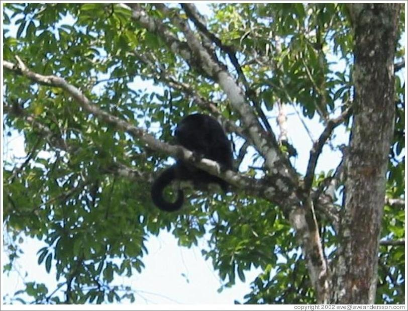 Tikal.  Howler monkey with cute tail.