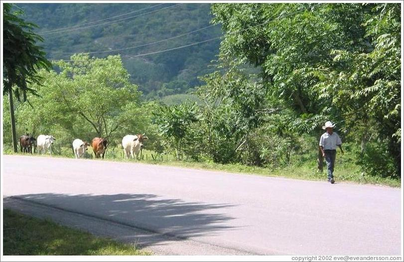 Cows following man on road.