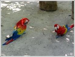 Macaws on ground.