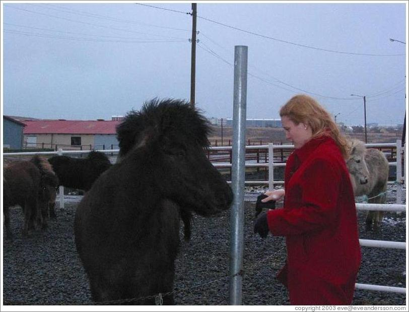 Icelandic horses are typically short but sturdy.