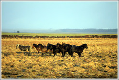 Icelandic horses standing on ??fur (hummocks, or mounds of earth) covered by wild grasses.