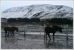 Icelandic horses in front of snow-covered butte.