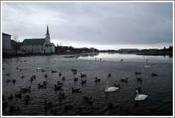 Swans and other water birds on Tj?rnin (The Pond), with Fr?rkjan ?eykjav? the Free Lutheran Church in Reykjavik, in the background.
