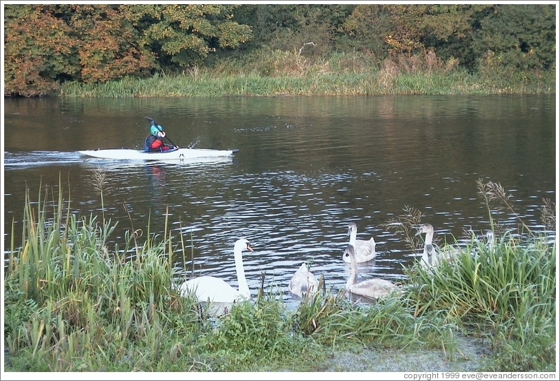 Kayakers and swans share the river north of Dublin.