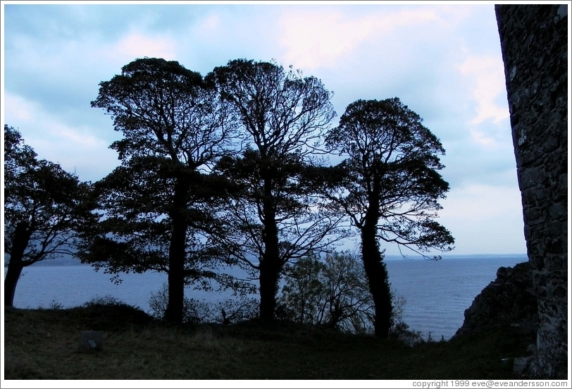 Nice trees on the coast, next to ruins of Carlingford.