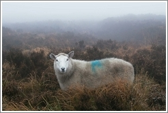 Sheep, looking at me, marked with a blue symbol.