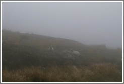 Sheep on a foggy hill.