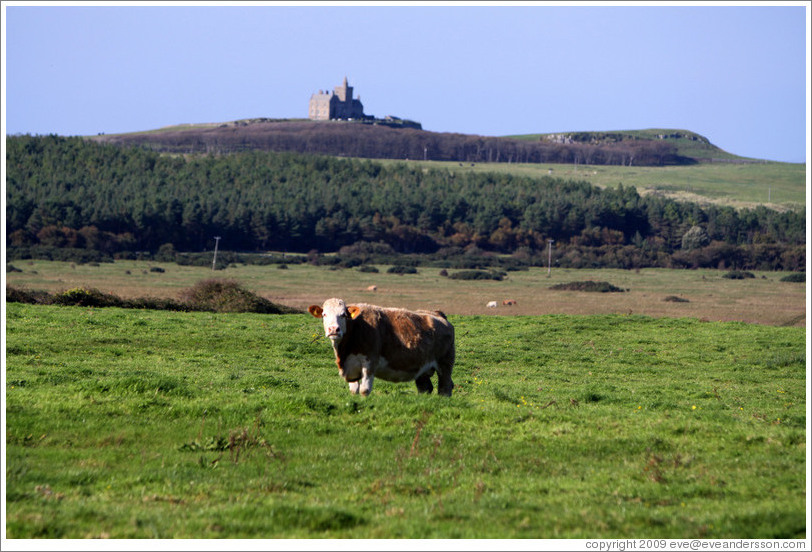 Cow in front of a castle on a hill.