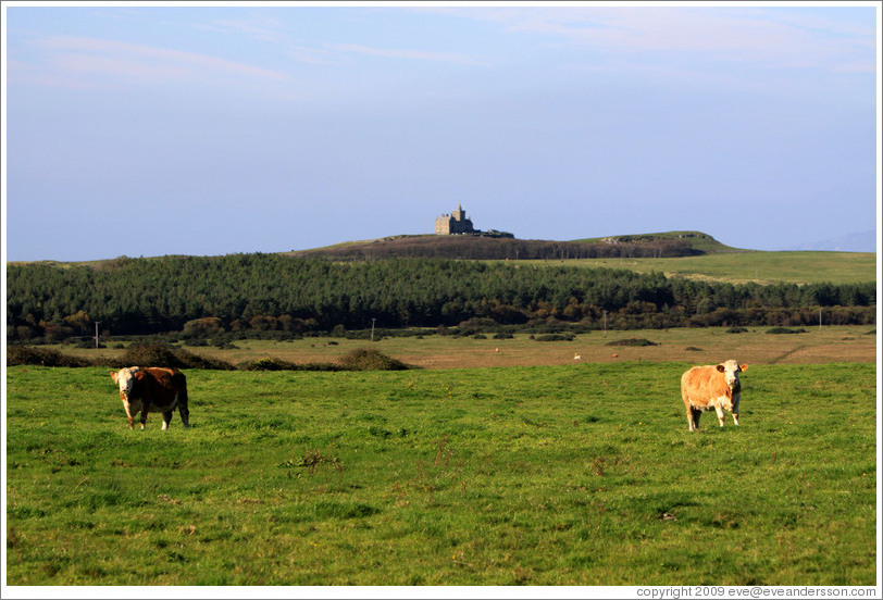 Cows in front of a castle on a hill.