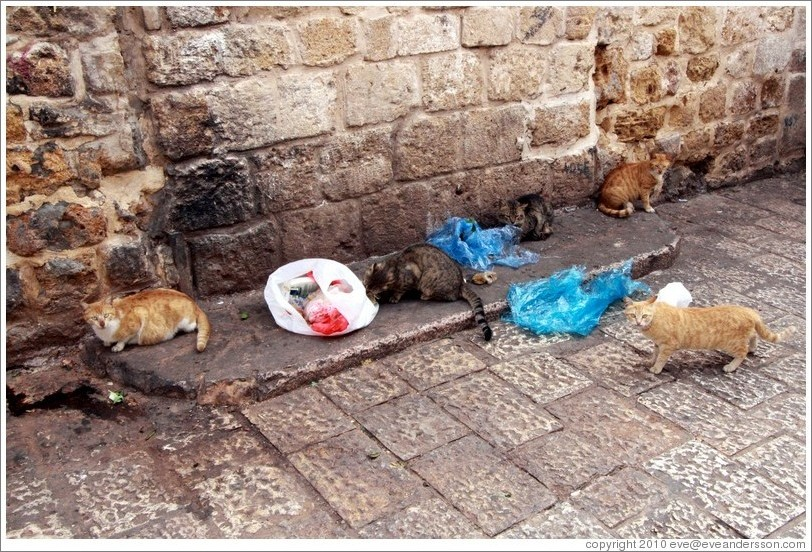 Cats eating garbage, old town Akko.