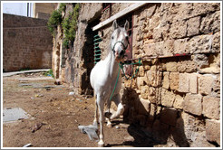 Agitated horse in a courtyard, old town Akko.