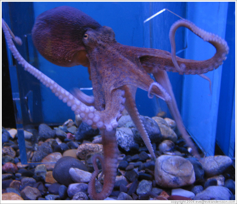 free online photos of octopus india