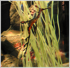 Kuji Aquarium.  Sea dragon.