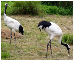 Tancho Japanese Crane Reserve.