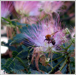 Bee on flower.  East coast of Honshu.