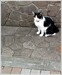 One-eyed, tailless cat.  Asakusa neighborhood.