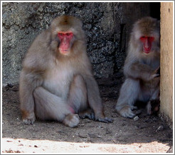 Snow monkeys in captivity.