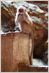 Monkey eating orange, Batu Caves.