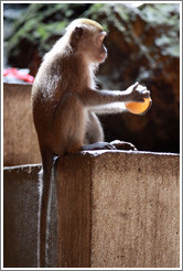 Monkey with orange, Batu Caves.